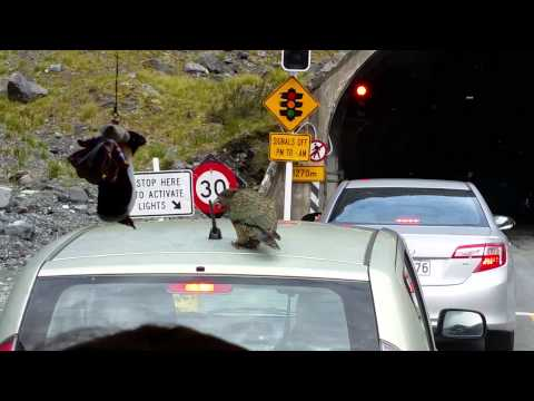 Kea Eats Antenna Off Of Car