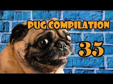 Pug Compilation 35 - Funny Dogs but only Pug Videos 2018 | Instapugs