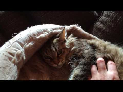 Chat Cat - Talkative Maine Coon Avalon