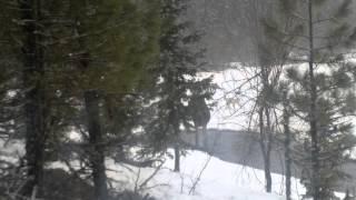 Охота на лося с собакой видео