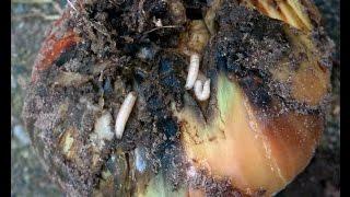 супер средство-нашатырный спирт -против  луковой мухи.лукового долгоносика. моли. листоблошки