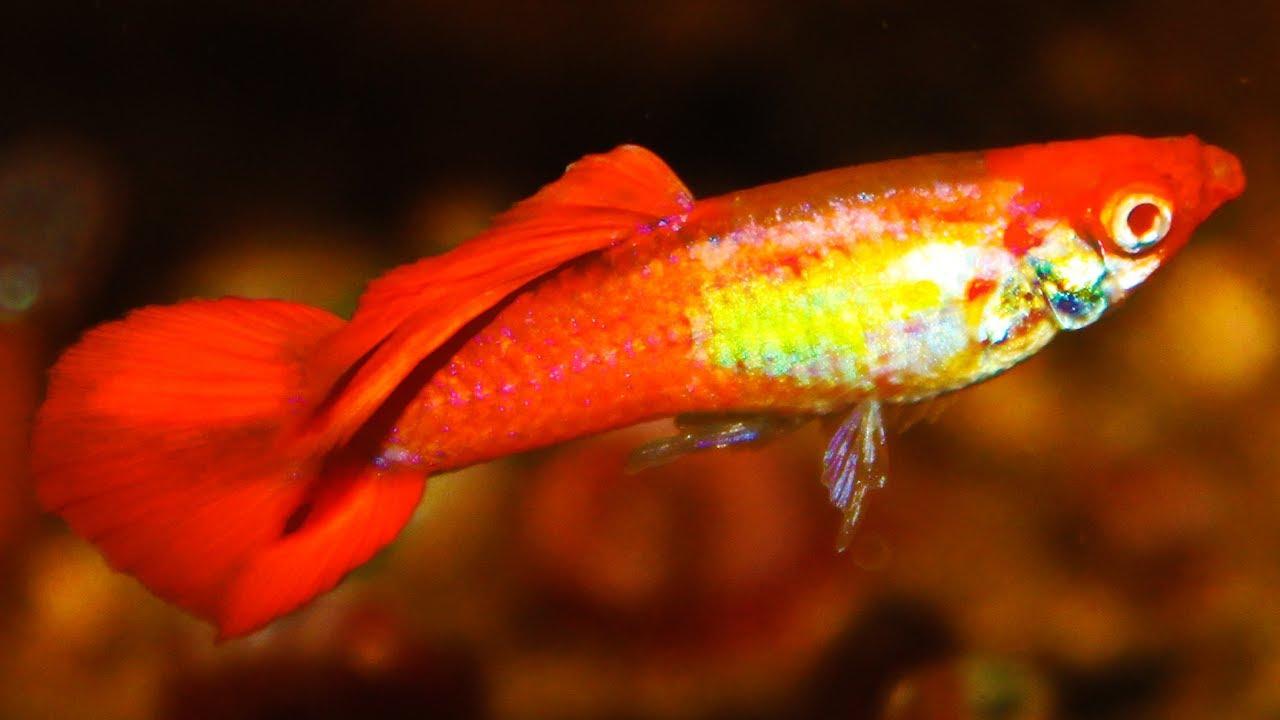 Albino Kohaku Guppy - Breeding colony under natural sunlight ᴴᴰ ...