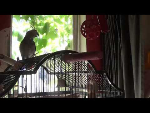 African grey parrot talking compilation