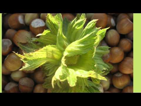 Plantaža lešnika - Deset godina plantaže u s.Rasna, Požega