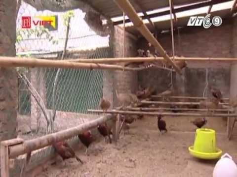 Quy trình nuôi chim trĩ đỏ khoang cổ