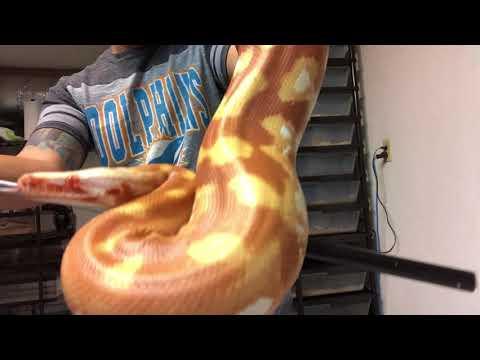 Blood Python Collection: April 2018