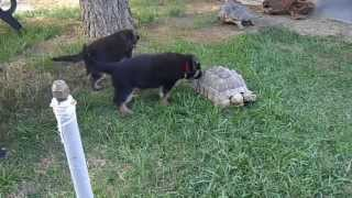 Socializing German Shepherd Puppies At Vintar Shepherds In Arizona