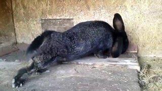 Кролик породы Паннон+Баран(, 2015-12-21T10:00:42.000Z)