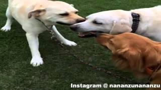 Labrador Retriever Vs Golden Retriever Tug Of War
