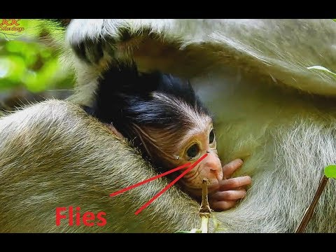 So Worry With Newborn Baby Monkey Has Many Flies Around on Eyes, Poor Mom Very Care baby.