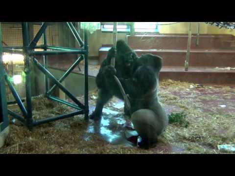 Crazy Hyper Gorillas At The Philadelphia Zoo!