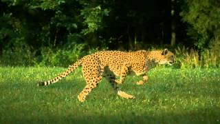 Cheetah Disco Science