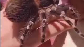 Giant White Knee Tarantula (Acanthoscurria Geniculata)