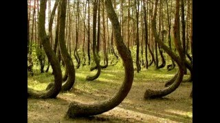 Forest of crooked trees in Poland, no explanation why?