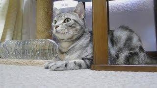 おとんが帰ってきて嬉しい猫 thumbnail