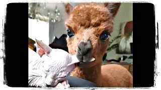 ЛАМА ЕСТ УХО КОТА, приколы с животными подборка   Fun with Animals #633
