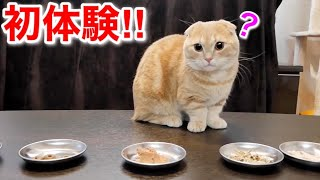 猫の日におやつ食べ放題を体験する短足猫がこちら