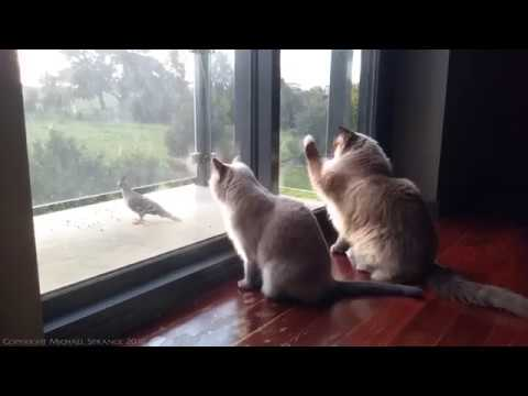 Bird Watching with Ella & Valentino - PoathTV Ragdoll Cats
