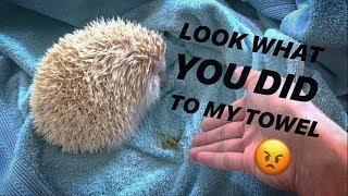 SHOWERING my FAT, dirty HEDGEHOG, Jaxon ~ Hedgehog UPDATE !!!