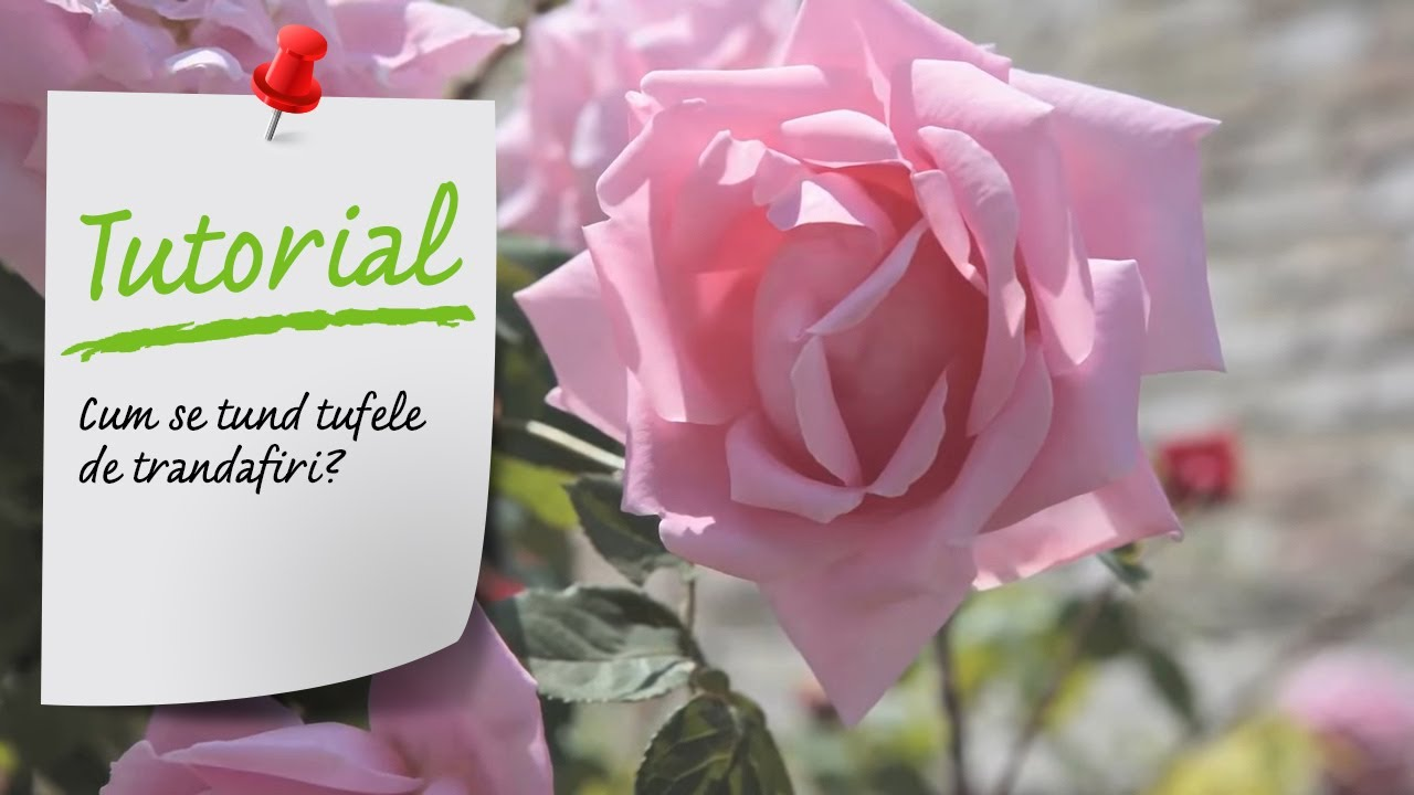 Tutorial VIDEO - Cum se tund si se ingrijesc tufele de trandafiri?