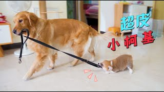 Golden Retriever took the dog leash to go out, but was messed up by Corgi, the scene was so funny!