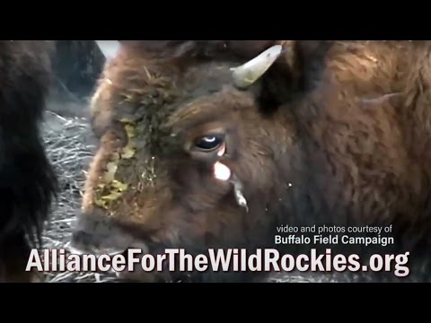 Stop The Yellowstone Bison Massacre 2017