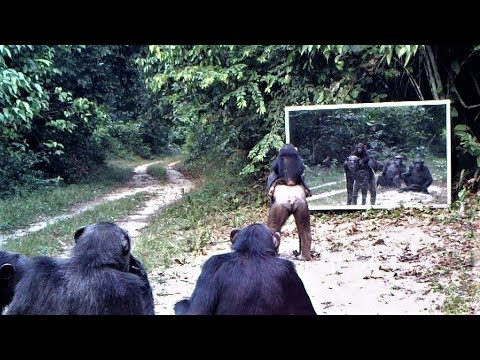 Mother chimpanzee and her child go to mirror training class in which other chimps participate/Gabon
