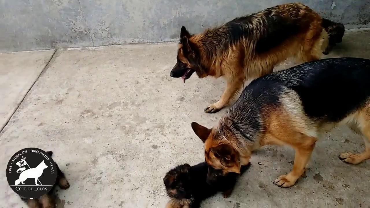 Socialización Cachorros Pastor Alemán Coto De Lobos Youtube