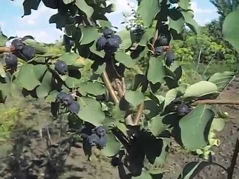 Ирга - обезательная ягода в каждом саду! Уход, размножение, интересные факты