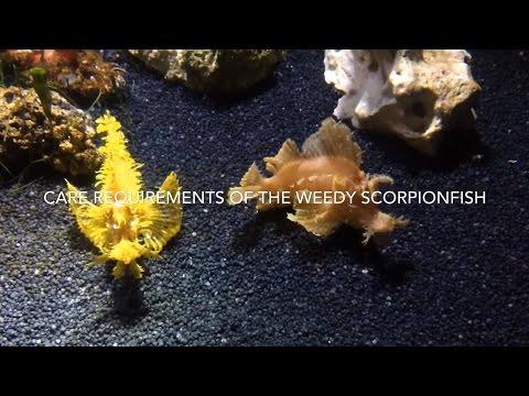 Weedy Scorpionfish Care (Rhinopias Frondosa)
