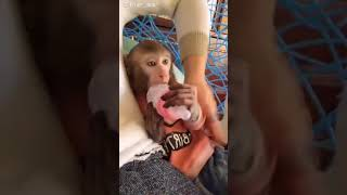 Terrified monkey baby attacking owner