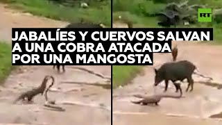 Jabalíes y cuervos salvan a una cobra atacada por una mangosta