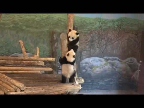 Toronto Zoo giant panda twins: battle for the post