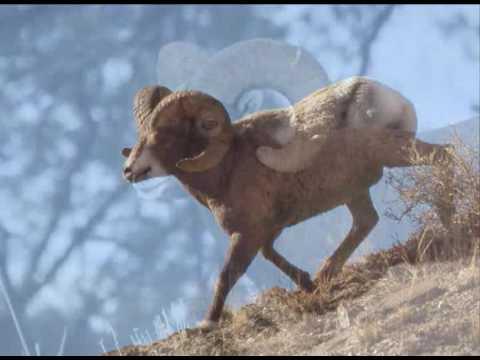 Bighorn Sheep Inside Yellowstone NPS