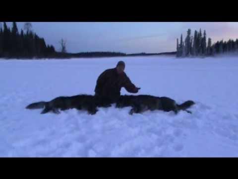 Wolf Double Header