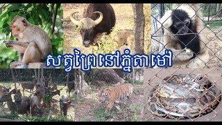 សត្វព្រៃនៅភ្នំតាមៅកំពុងប្រឈមនឹងកង្វះទឹកផឹកខណៈរដូវប្រាំងក្តៅហួតហែង|Khmer News Sharing