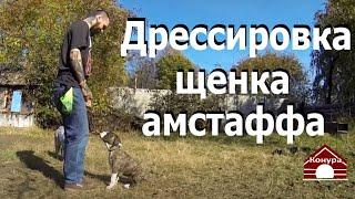 Дрессировка щенка амстаффа 2й урок