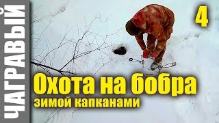 Охота на бобра капканами 4 | капкан на тропе. Hunting for the beaver by traps 4 | trap on the trail.