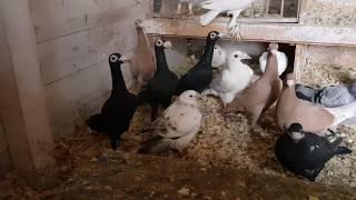 Gołębie Rasowe / Kuracja Przed Lęgami / Nowe Gołębie / Racial Pigeons