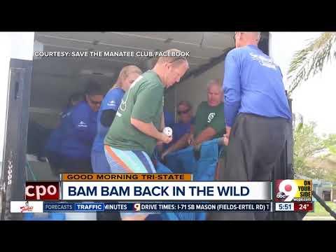 Cincinnati Zoo's rescued baby manatee returns to the wild