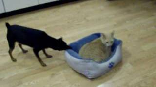 Min Pin Vs The Cat
