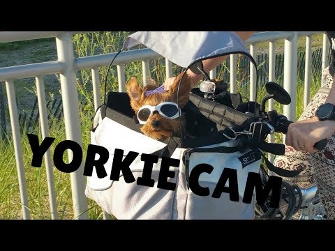Yorkshire Terrier Cruising On Boardwalk With A Video Cam | Yorkie | Pet Camera | Small Breed Dogs