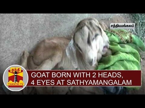 Goat born with 2 head & 4 Eyes at Sathyamangalam   Thanthi TV