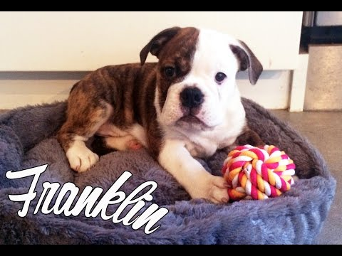 Meet Franklin Our Bulldog Puppy!