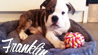 Meet Franklin Our Bulldog Puppy! Thumbnail
