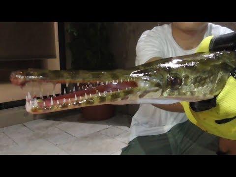 The Florida Gar Has Crazy Teeth!
