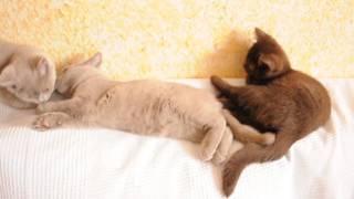 Британские котята лиловые и шоколадные в питомнике British House