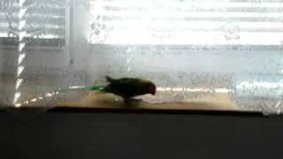 Ferdísek Agapornis fischeri si povídá s páníčkem....