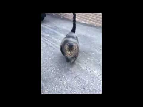 THE BUFFEST CAT EVER!!!!1