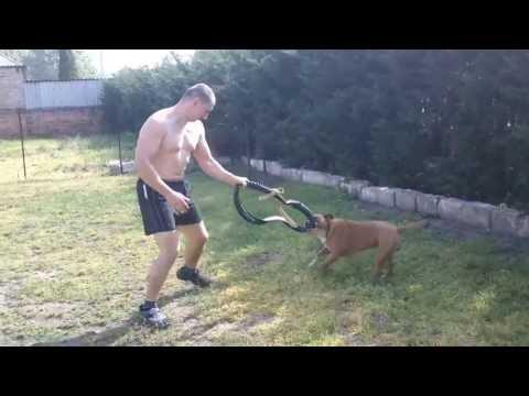 Boyka 11.hónapos(Amerikai Staffordshire Terrier)